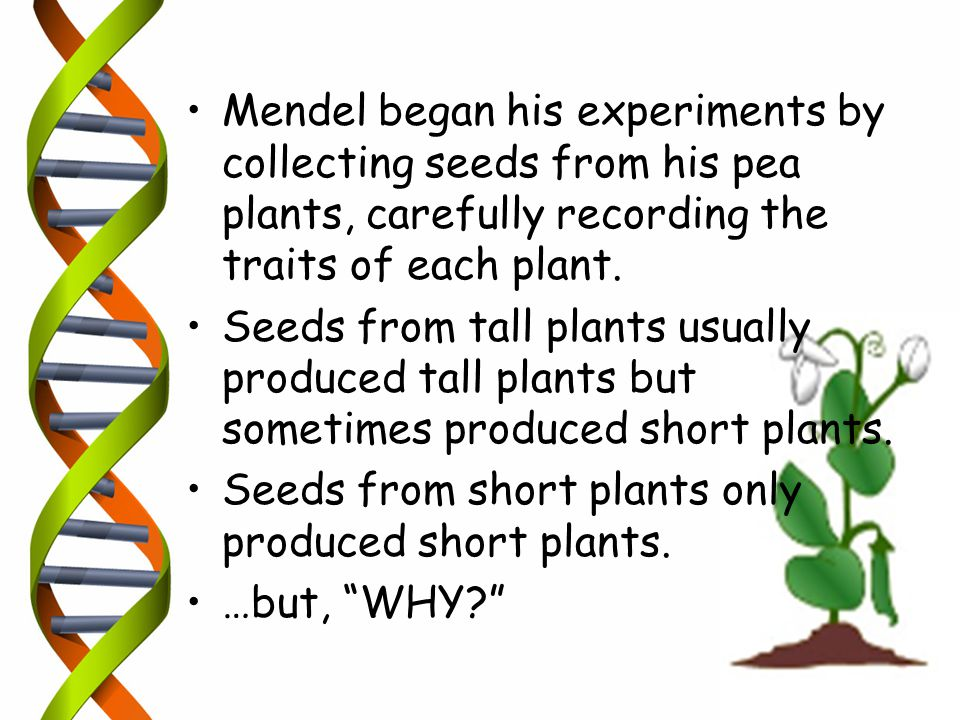 Mendel began his experiments by collecting seeds from his pea plants, carefully recording the traits of each plant.