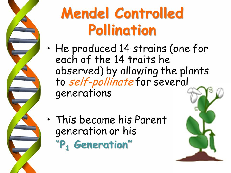 cross pollination of a parental generation Lecture learning objectives: you should be able to self-pollinating but possible to cross pollinate parental generation= pure.