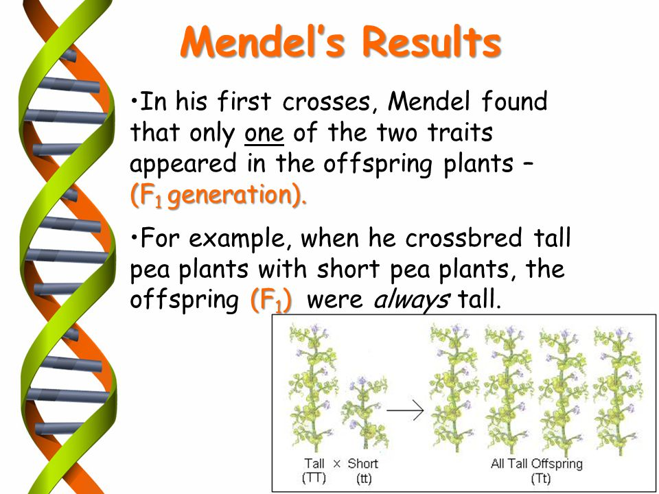 Mendel's Results In his first crosses, Mendel found that only one of the two traits appeared in the offspring plants –