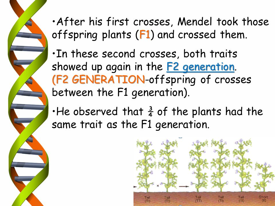 After his first crosses, Mendel took those offspring plants (F1) and crossed them.