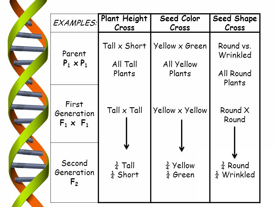 EXAMPLES: Plant Height Cross. Seed Color Cross. Seed Shape Cross. Parent. P1 x P1. Tall x Short.