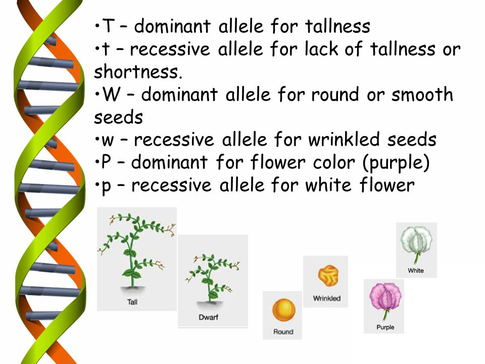 T – dominant allele for tallness