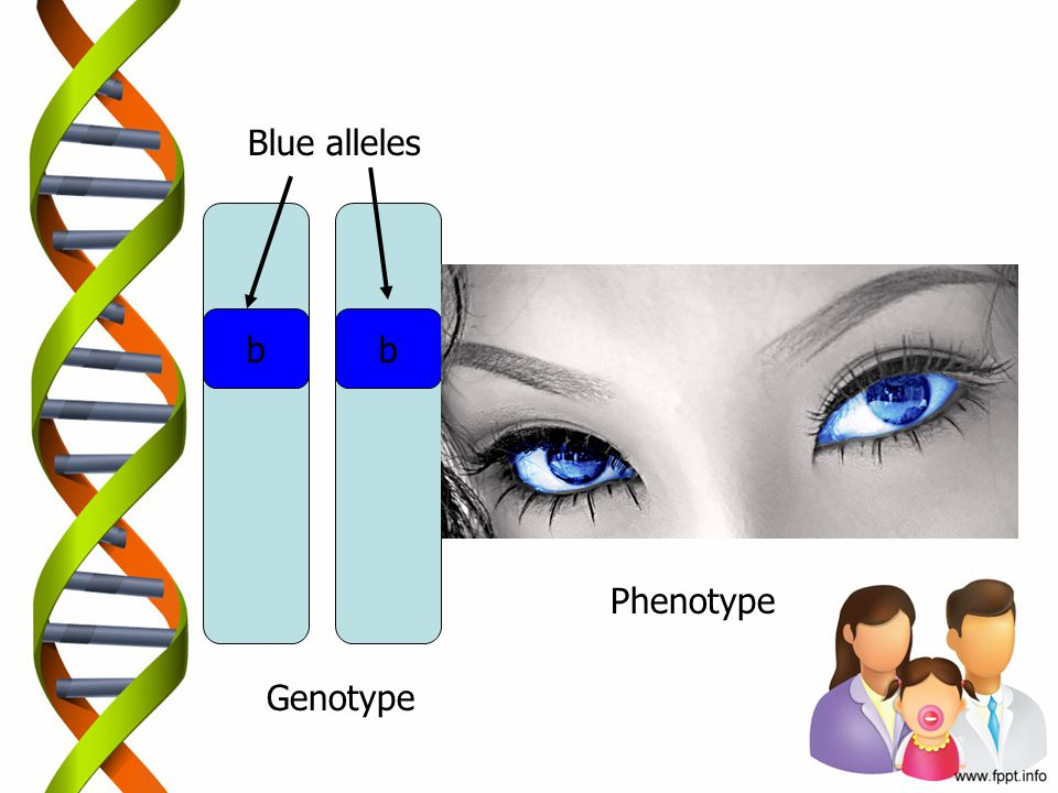 Blue alleles b b Phenotype Genotype