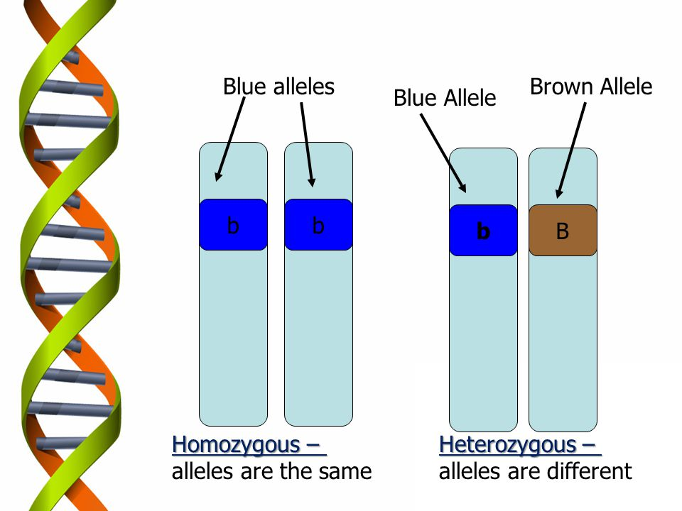 Blue alleles Brown Allele. Blue Allele. b. b. b. B. Homozygous – alleles are the same. Heterozygous –