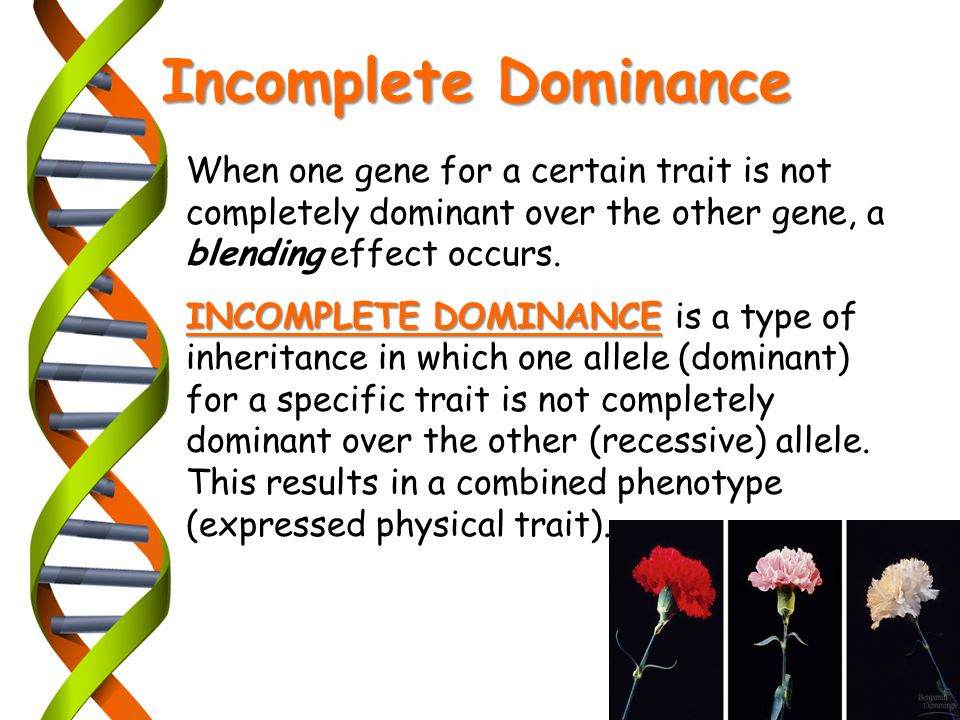 Incomplete Dominance When one gene for a certain trait is not completely dominant over the other gene, a blending effect occurs.