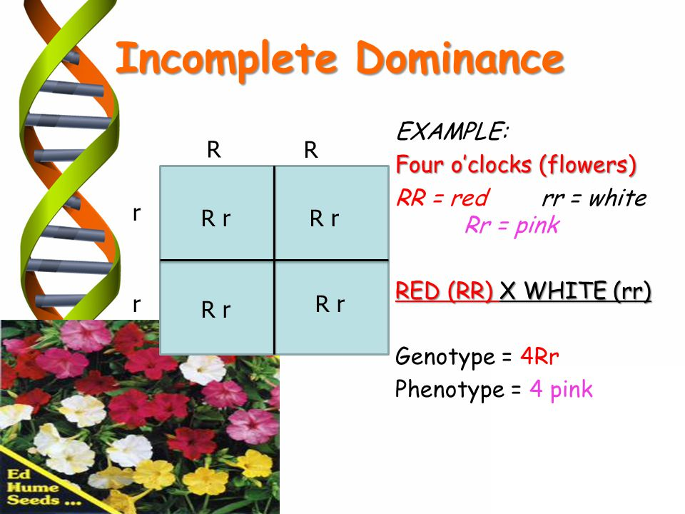 Incomplete Dominance EXAMPLE: Four o'clocks (flowers)