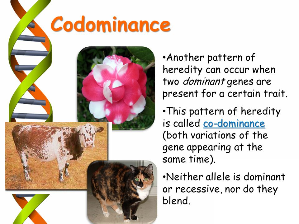 Codominance Another pattern of heredity can occur when two dominant genes are present for a certain trait.