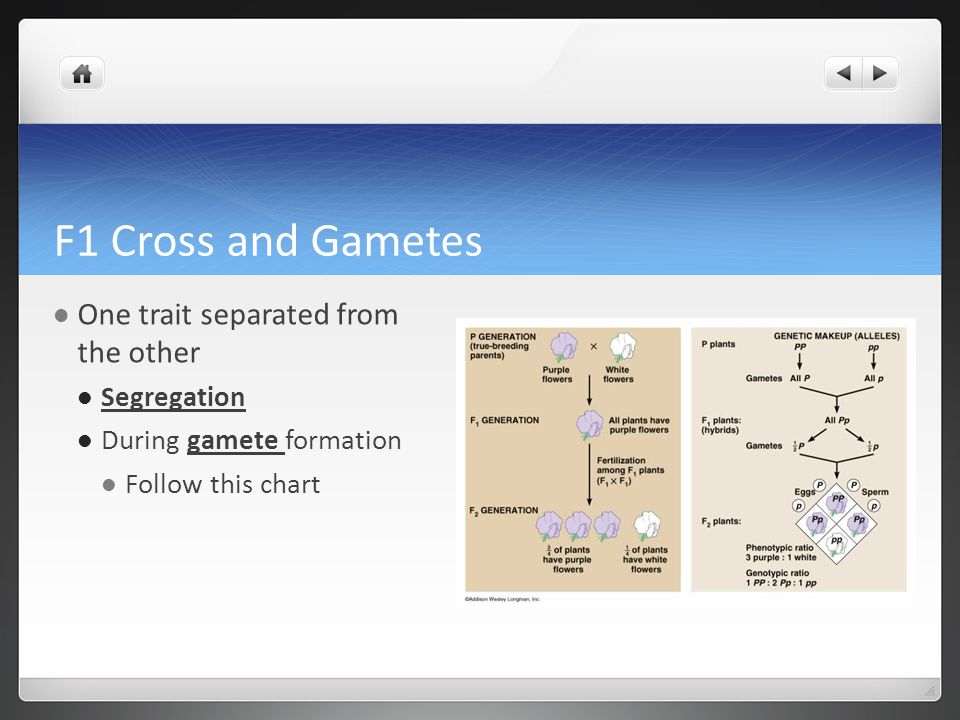 F1 Cross and Gametes One trait separated from the other Segregation