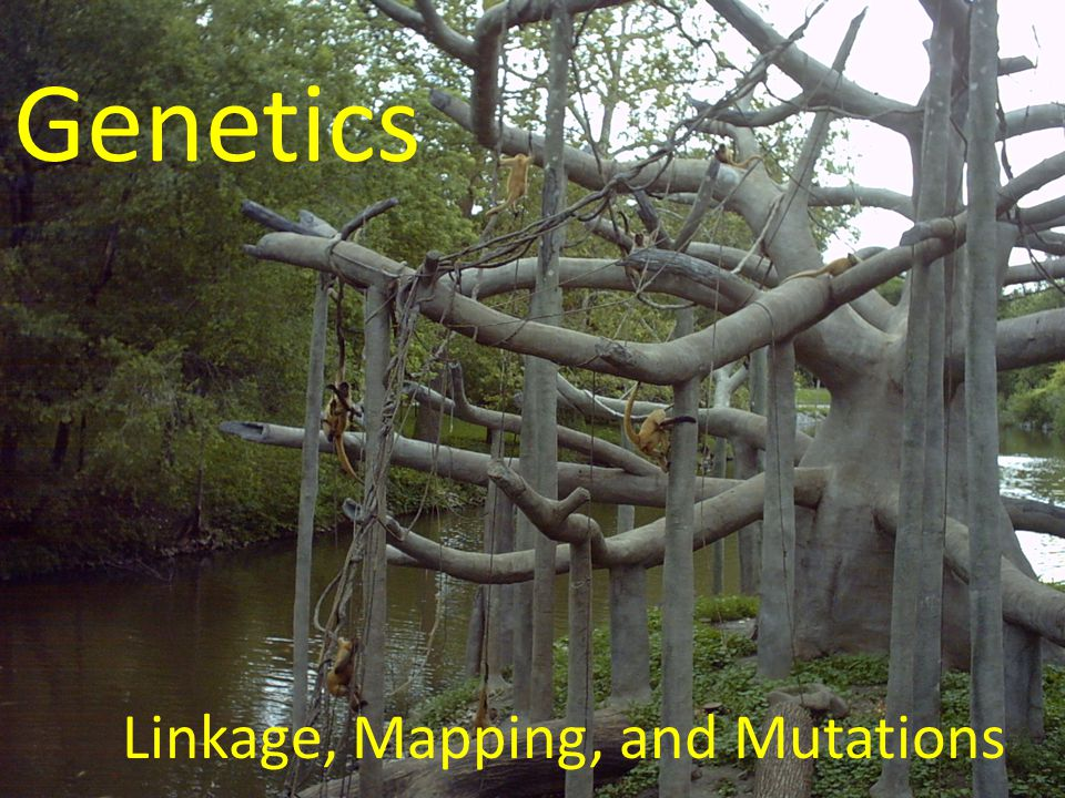 Linkage, Mapping, and Mutations