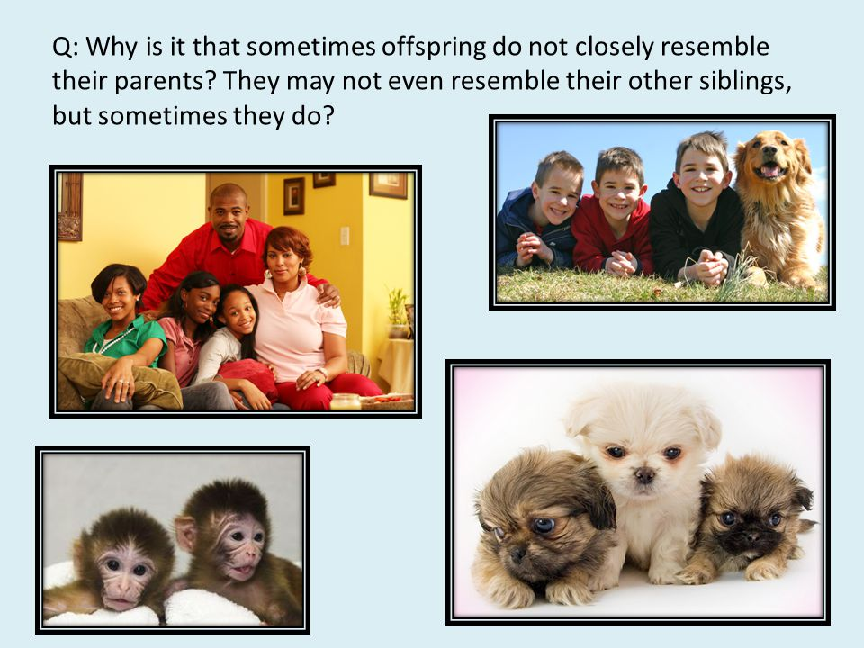 Q: Why is it that sometimes offspring do not closely resemble their parents.