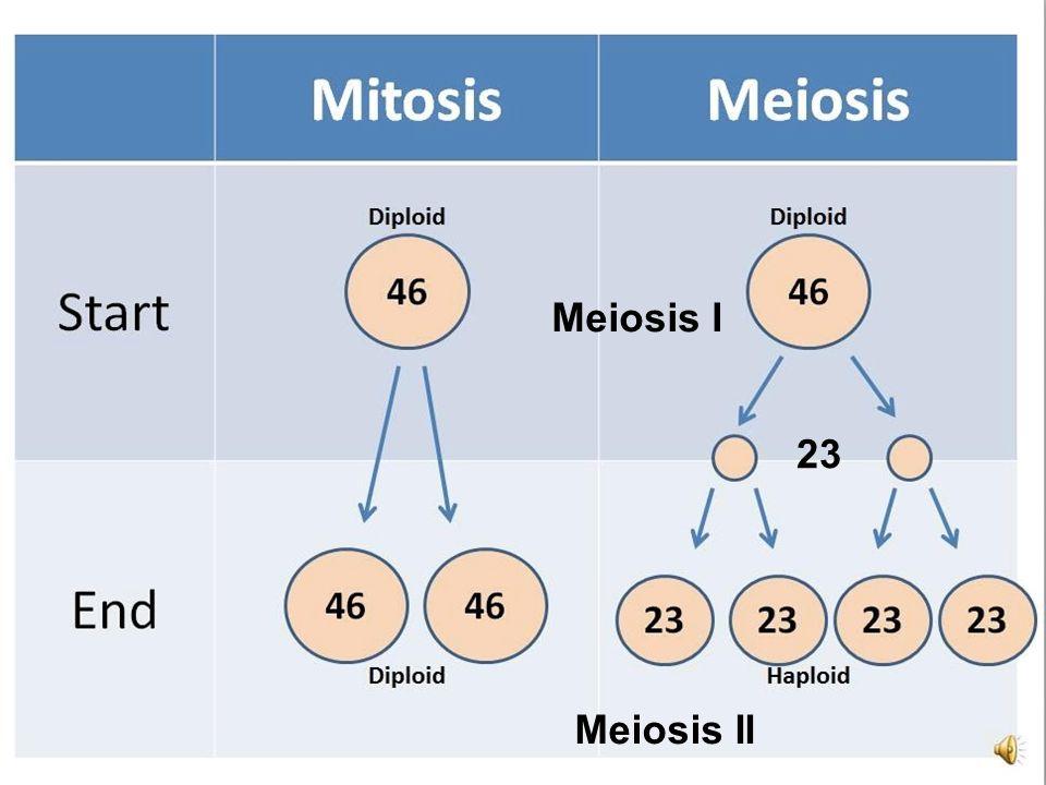 Meiosis I 23 Meiosis II