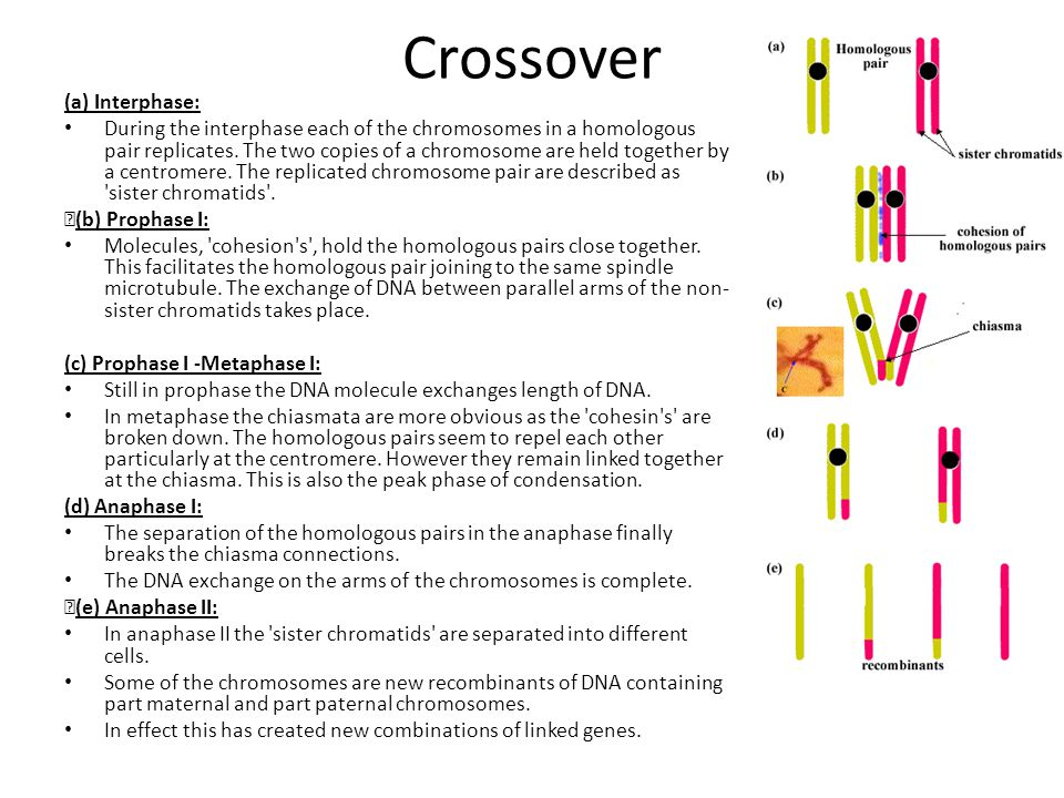 Crossover (a) Interphase: