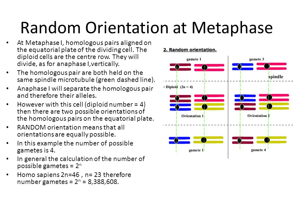Random Orientation at Metaphase