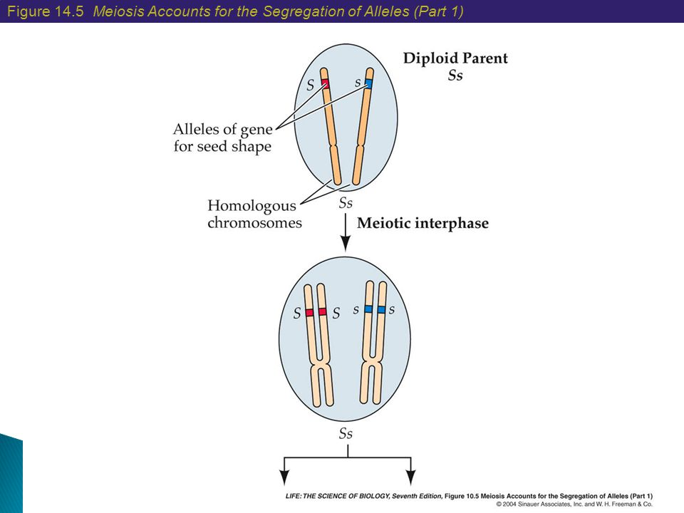 Figure 14.5 Meiosis Accounts for the Segregation of Alleles (Part 1)