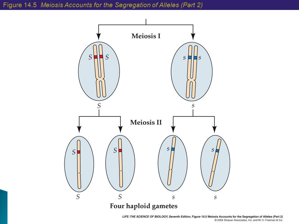 Figure 14.5 Meiosis Accounts for the Segregation of Alleles (Part 2)