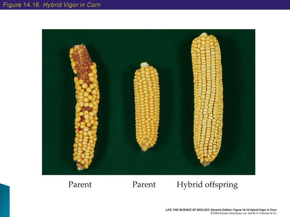 Figure 14.16 Hybrid Vigor in Corn