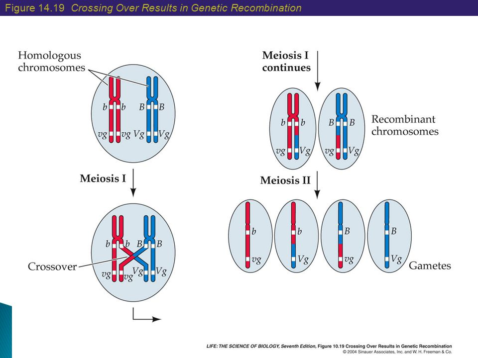 Figure 14.19 Crossing Over Results in Genetic Recombination
