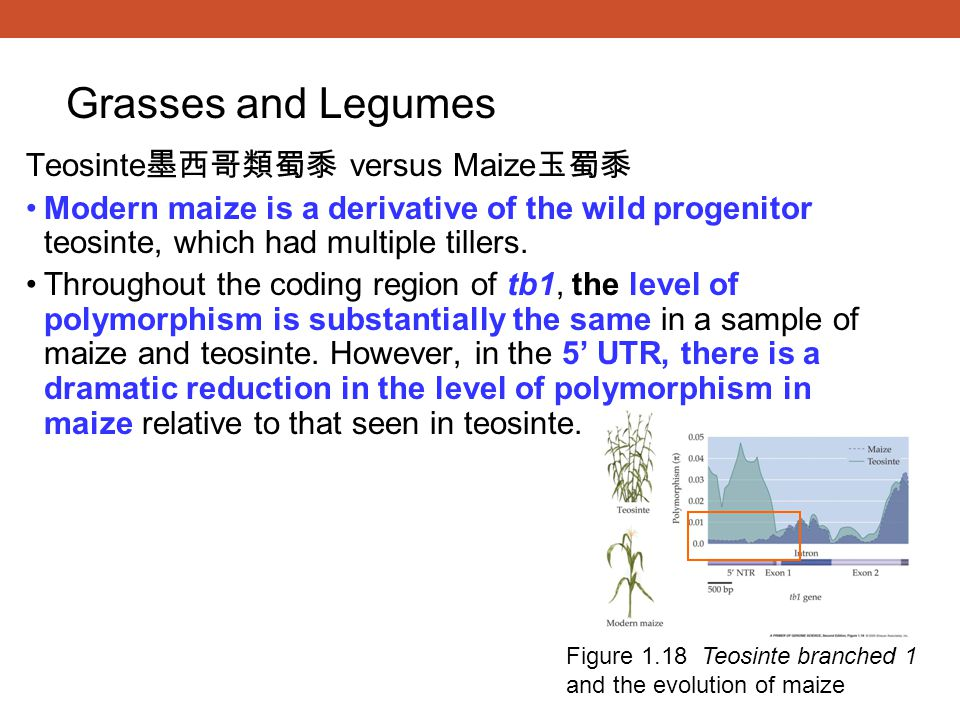 Grasses and Legumes Teosinte墨西哥類蜀黍 versus Maize玉蜀黍