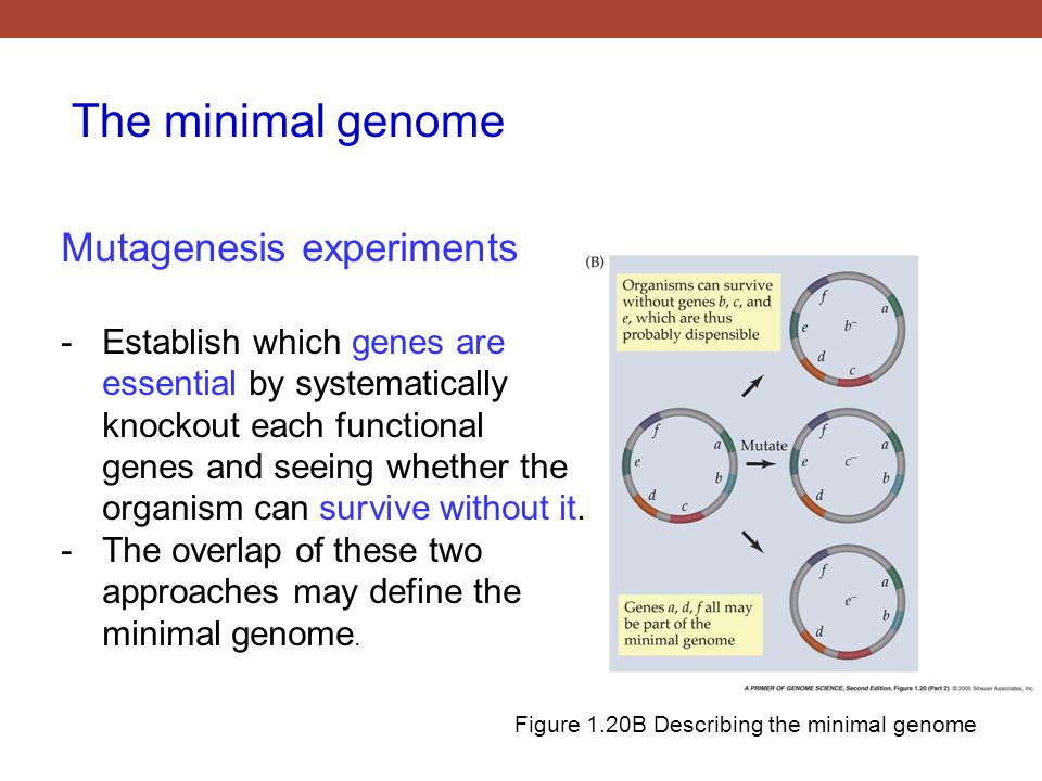 Figure 1.20B Describing the minimal genome