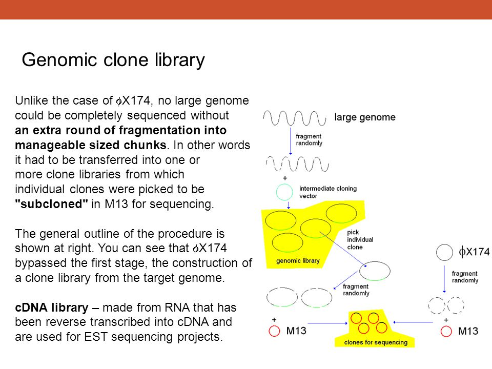 Genomic clone library Unlike the case of fX174, no large genome