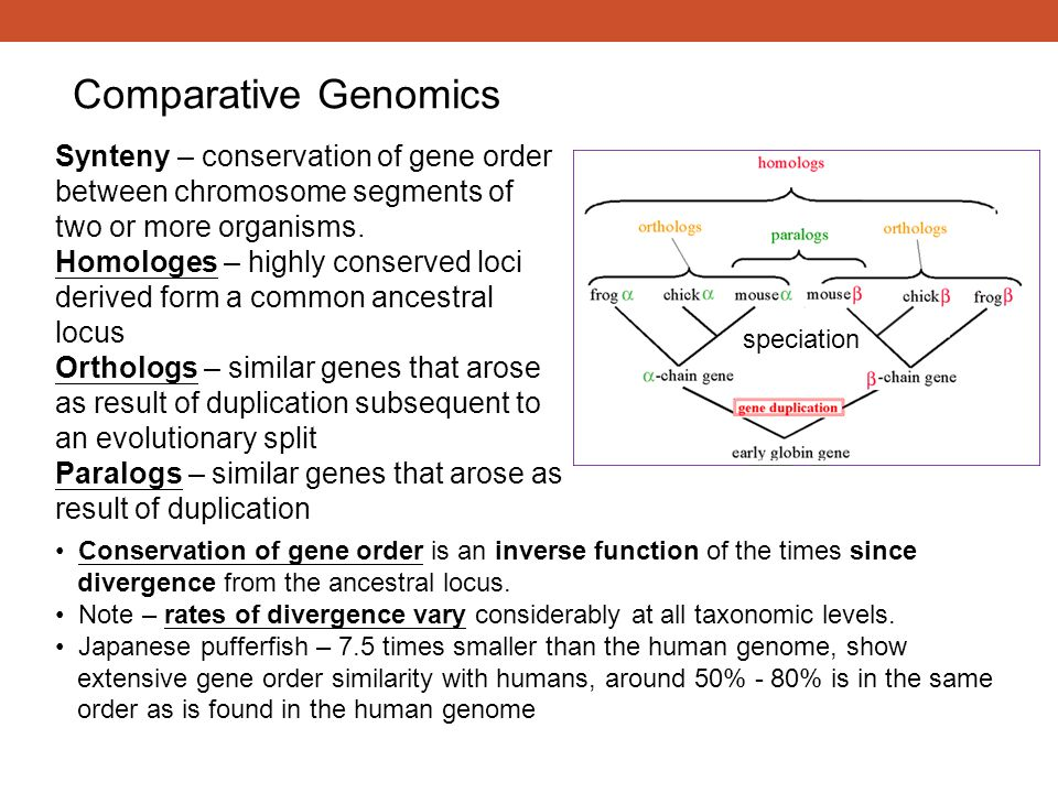 Comparative Genomics Synteny – conservation of gene order between chromosome segments of two or more organisms.