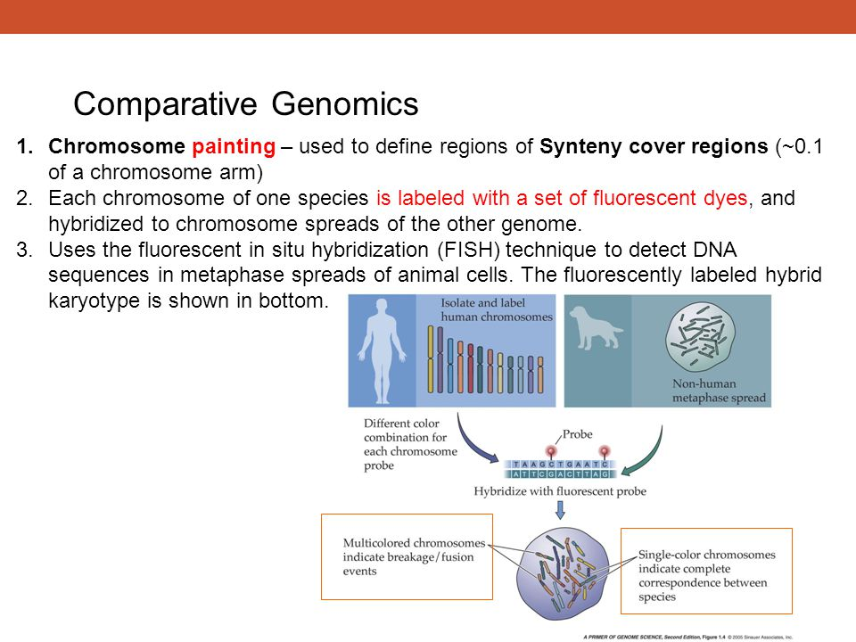 Comparative Genomics Chromosome painting – used to define regions of Synteny cover regions (~0.1 of a chromosome arm)