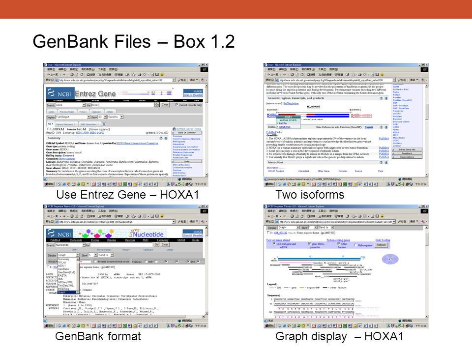 GenBank Files – Box 1.2 Use Entrez Gene – HOXA1 Two isoforms