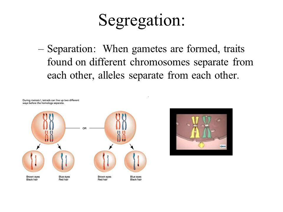 Segregation: Separation: When gametes are formed, traits found on different chromosomes separate from each other, alleles separate from each other.