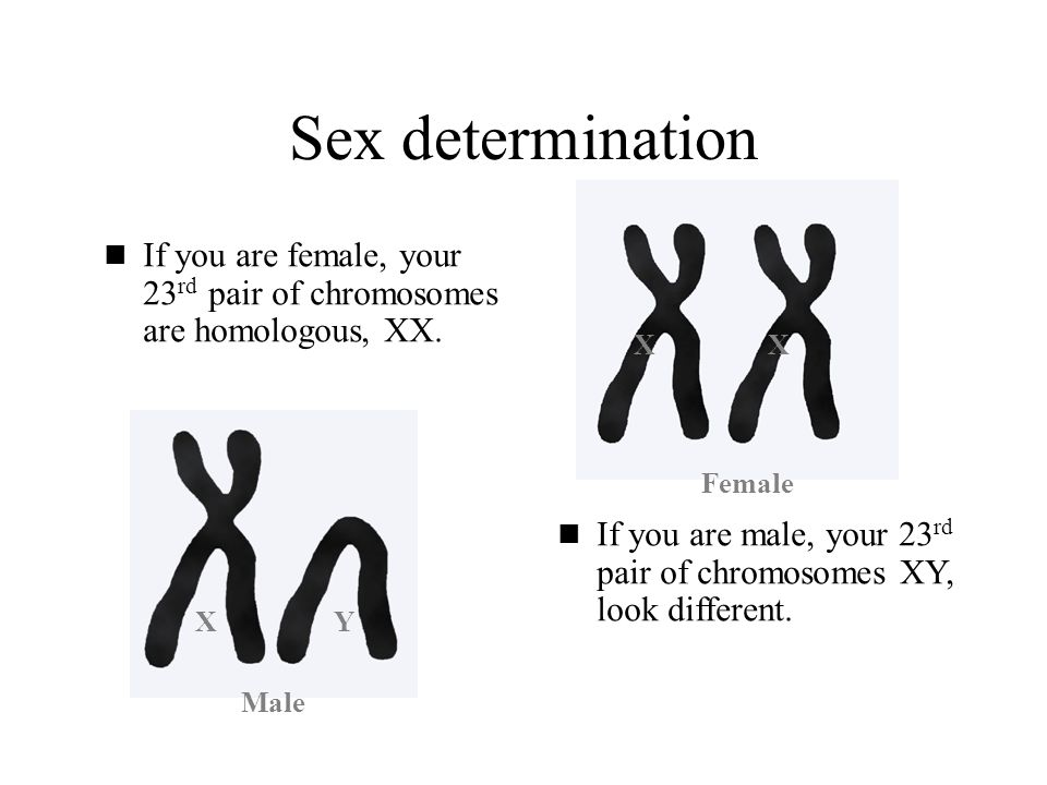 Sex determination If you are female, your 23rd pair of chromosomes are homologous, XX. X. X. Female.