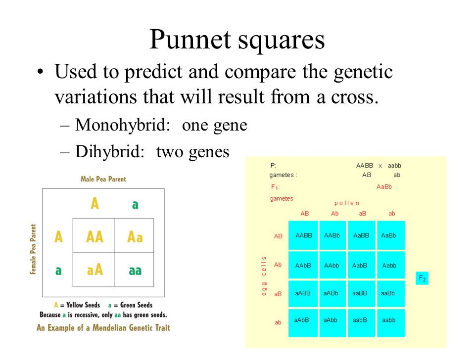 Punnet squares Used to predict and compare the genetic variations that will result from a cross. Monohybrid: one gene.