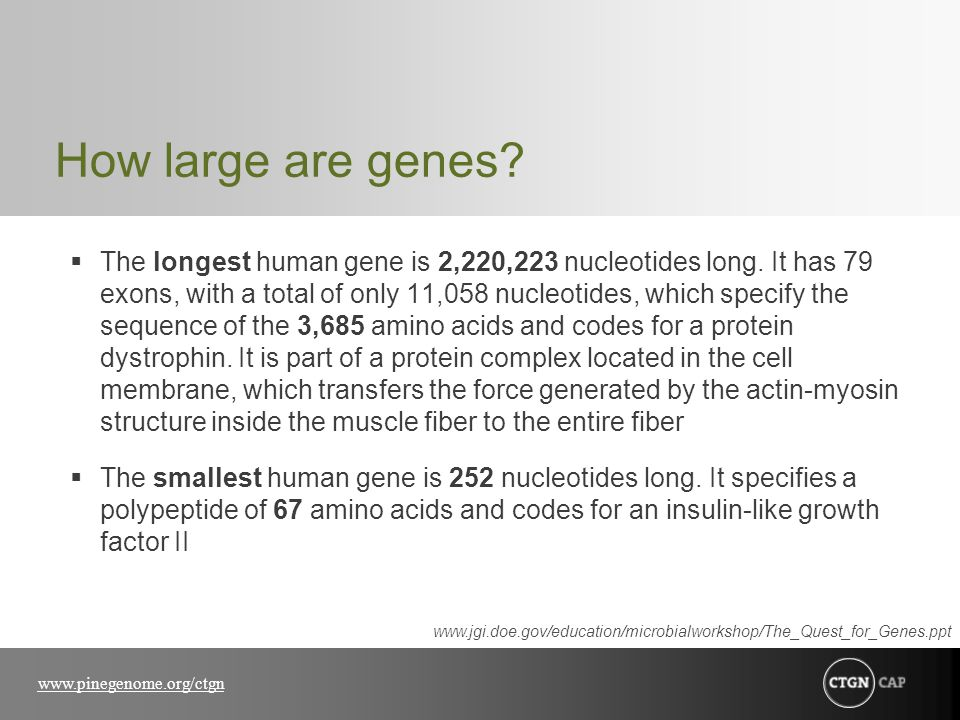 How large are genes