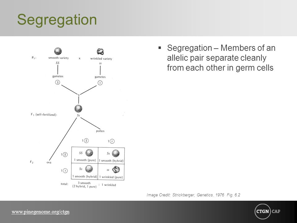 Segregation Segregation – Members of an allelic pair separate cleanly from each other in germ cells.