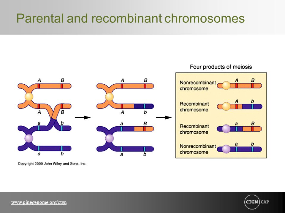Parental and recombinant chromosomes