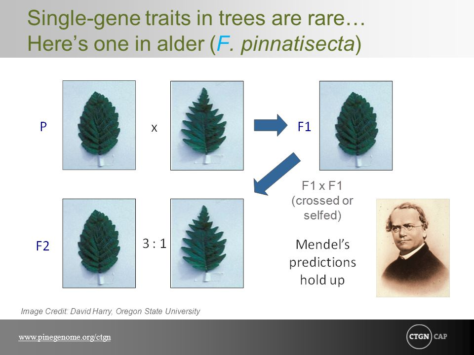 Single-gene traits in trees are rare… Here's one in alder (F