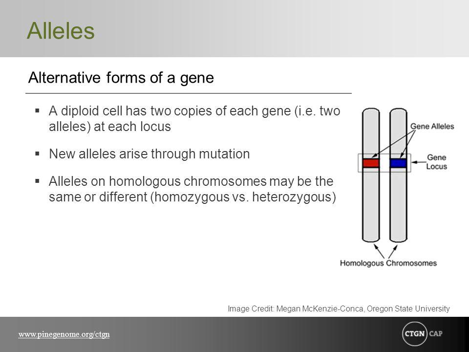 Alleles Alternative forms of a gene