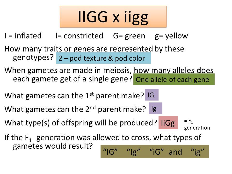 IIGG x iigg IiGg IG Ig iG and ig