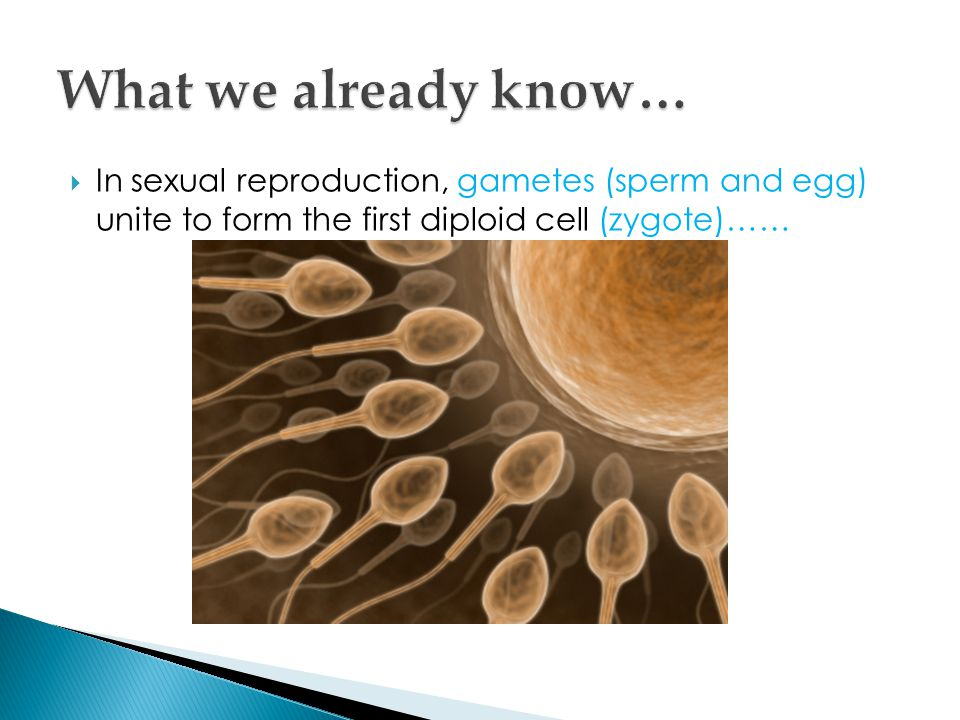 What we already know… In sexual reproduction, gametes (sperm and egg) unite to form the first diploid cell (zygote)……