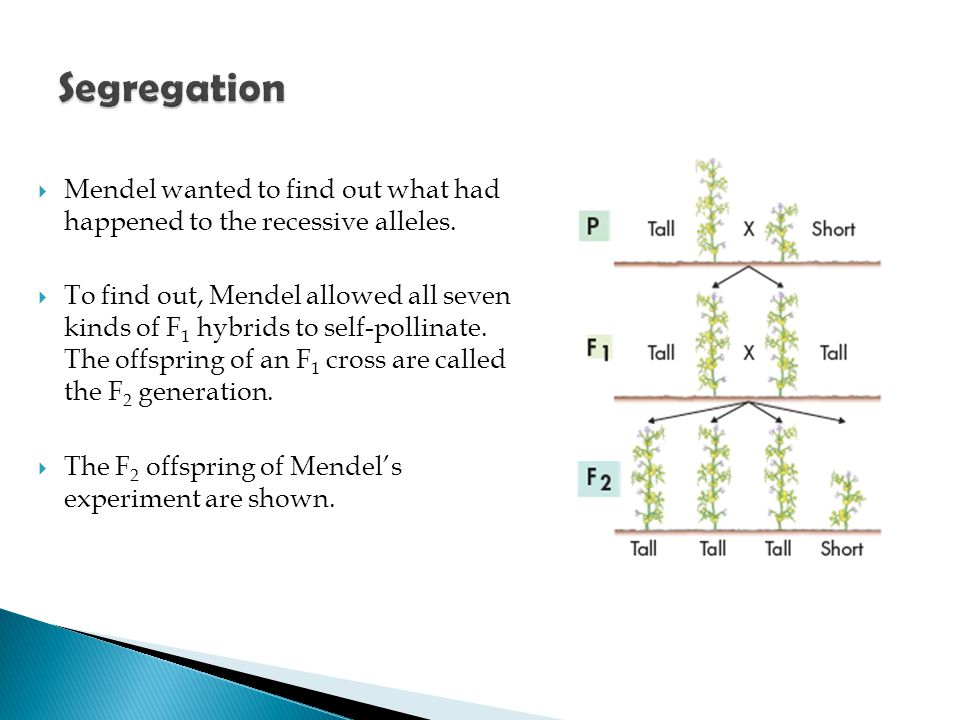 Segregation Mendel wanted to find out what had happened to the recessive alleles.