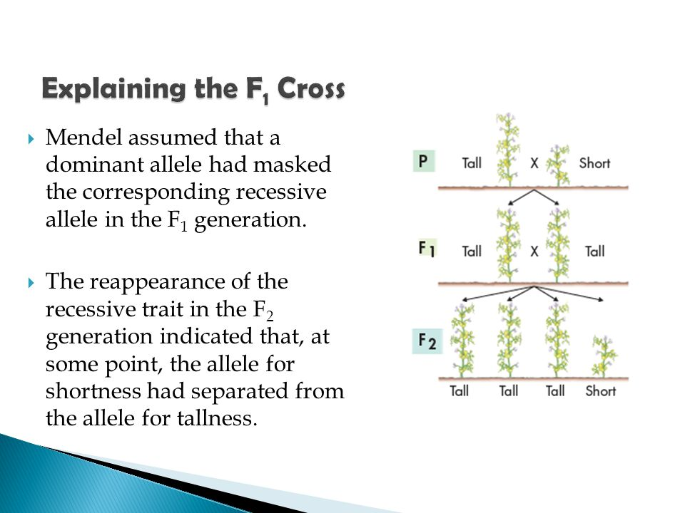 Explaining the F1 Cross Mendel assumed that a dominant allele had masked the corresponding recessive allele in the F1 generation.
