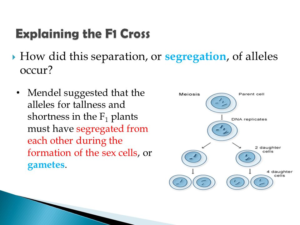 Explaining the F1 Cross How did this separation, or segregation, of alleles occur