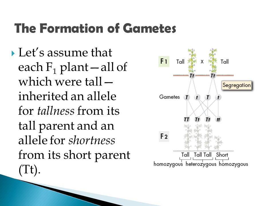 The Formation of Gametes