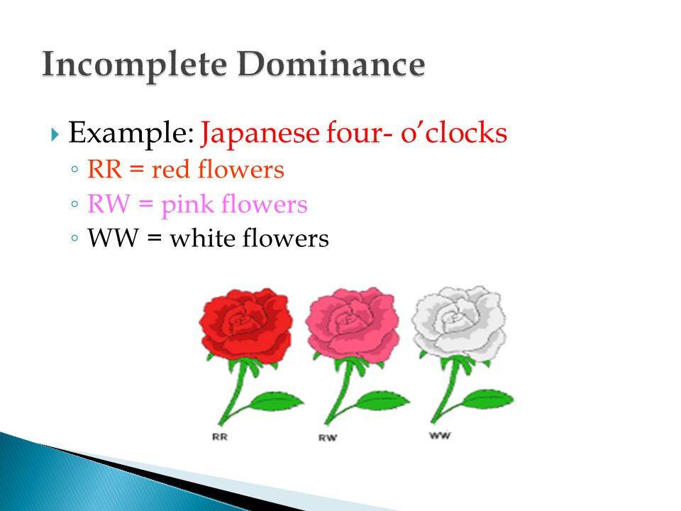 Incomplete Dominance Example: Japanese four- o'clocks RR = red flowers