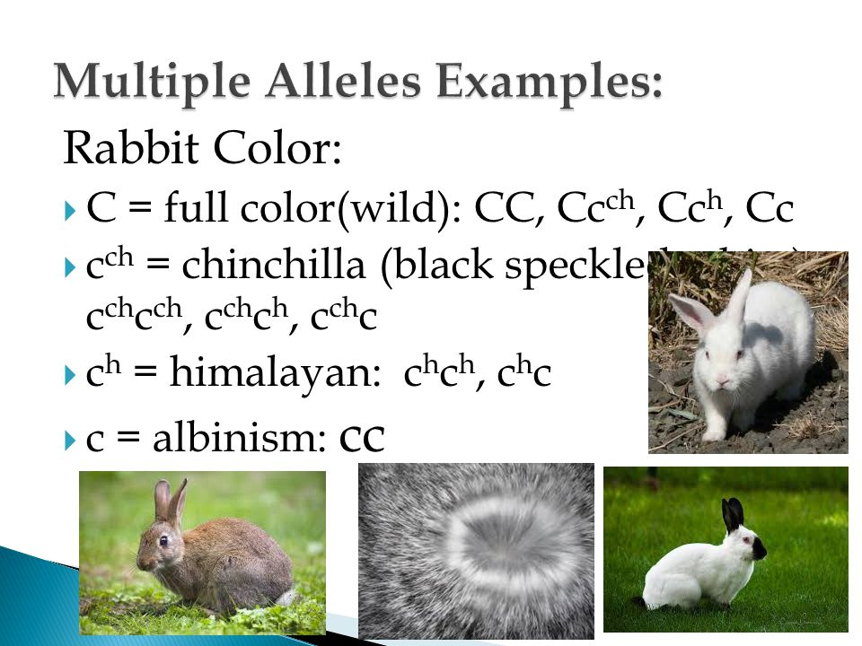 Multiple Alleles Examples: