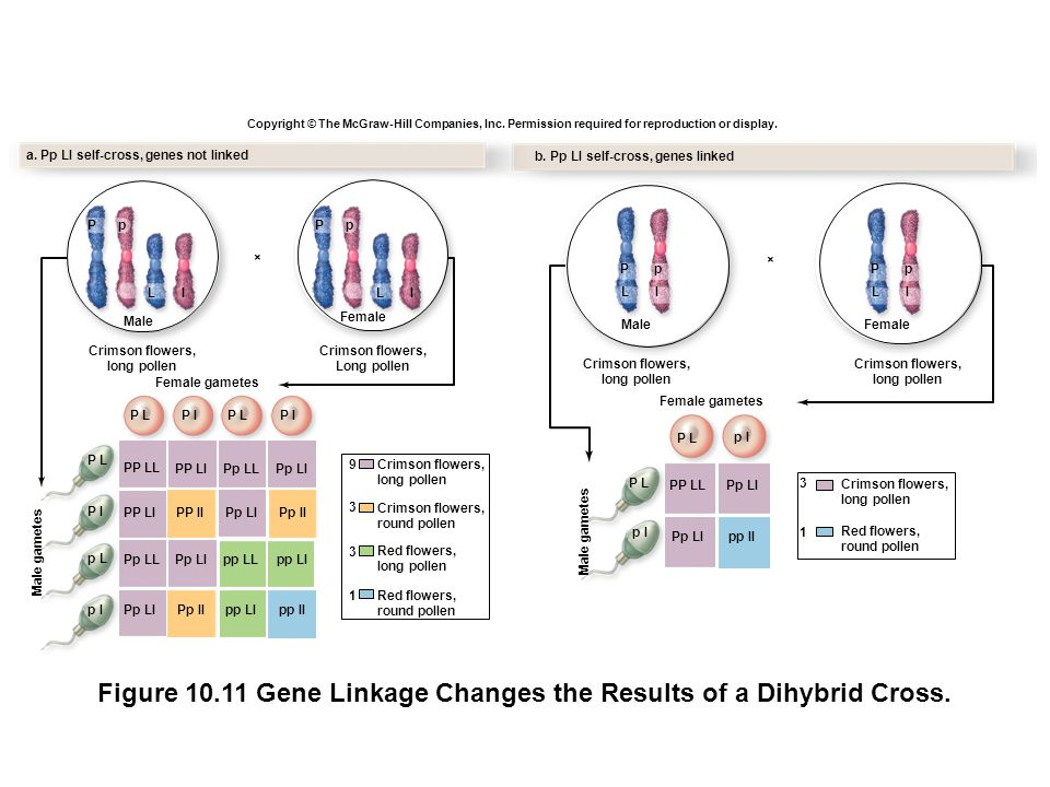 Figure 10.11 Gene Linkage Changes the Results of a Dihybrid Cross.