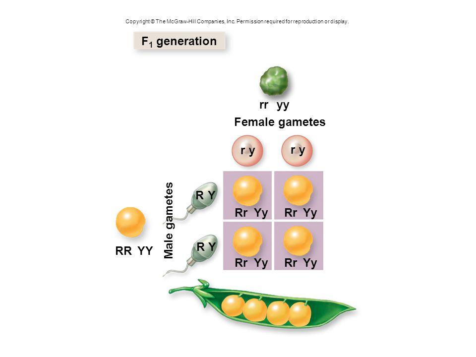 F1 generation rr yy Female gametes r y r y R Y Rr Yy Rr Yy