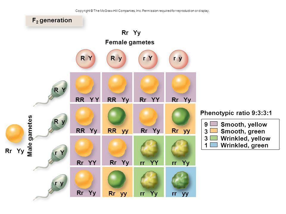 F2 generation Rr Yy Female gametes R Y R y r Y r y R Y RR Y Y RR Yy Rr