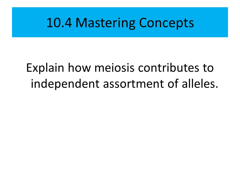 Explain how meiosis contributes to independent assortment of alleles.