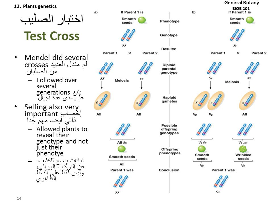 اختبار الصليب Test Cross