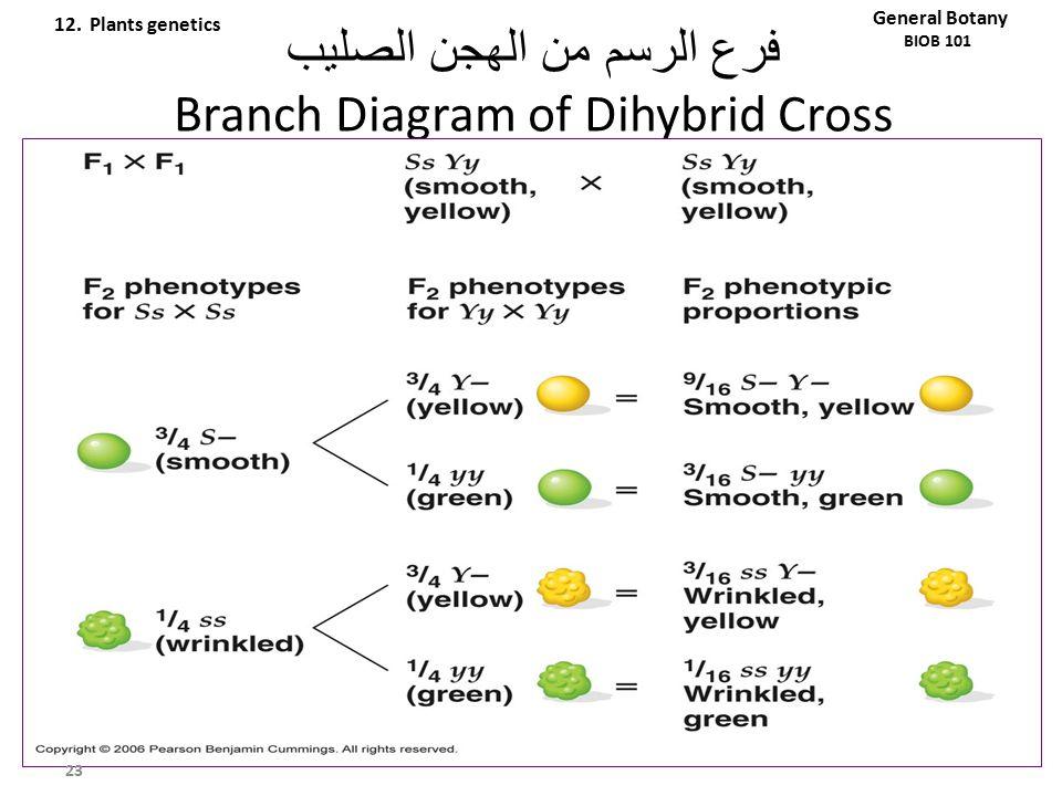 فرع الرسم من الهجن الصليب Branch Diagram of Dihybrid Cross