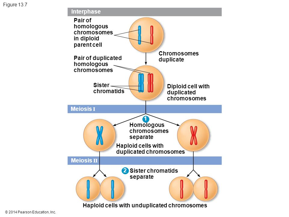duplicated chromosomes